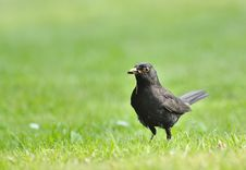 Common Blackbird Royalty Free Stock Photography