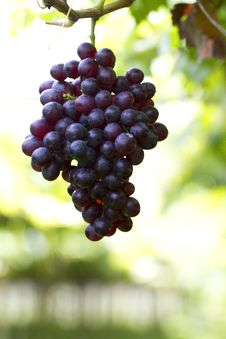 Free Grapes Stock Images - 20039844