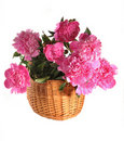 Free Peonies In A Basket The Isolated Royalty Free Stock Photography - 20040687
