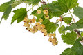 Free White Currant Royalty Free Stock Image - 20041416