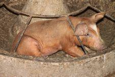 Free Pig Royalty Free Stock Image - 20040226