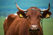 Free Cow In Pasture Royalty Free Stock Image - 20041256