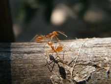 Free Ant Royalty Free Stock Images - 20043139