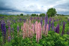 Free Lupines On Field Stock Photography - 20044322