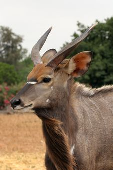 Nyala Royalty Free Stock Image