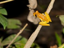 Free An Orange Hyla Frog About To Jump Royalty Free Stock Image - 20045456
