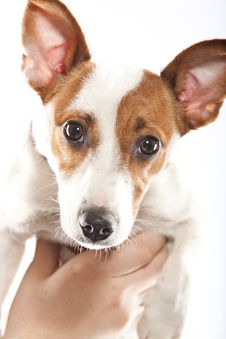 Free Jack Russel Terrier Royalty Free Stock Photo - 20045795