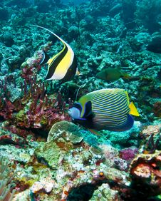 Free Moorish Idol And Emperor Angelfish Royalty Free Stock Photography - 20045907