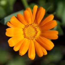 Free Orange Flower Closeup Stock Images - 20045964