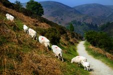Free Sheep Royalty Free Stock Image - 20046486