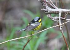 Free Magnolia Warbler, Dendroica Magnolia Royalty Free Stock Photo - 20046935