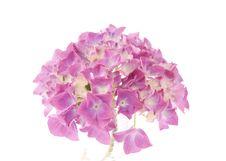 Free Hydrangea Macrophylla Stock Photography - 20047282
