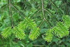 Free Pine Tree Stock Images - 20047304