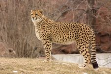 Free Cheetah Watching For Prey Royalty Free Stock Photography - 20049547