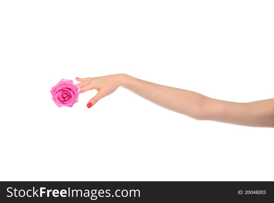 Female hand with pink rose