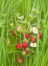 Free Wild Strawberries Stock Images - 20055234