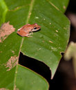 Free A Brown Hyla Frog Royalty Free Stock Image - 20057336