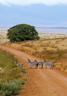 Zebra Of Ngorongoro Crater