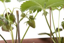 Free Strawberry Plant Stock Image - 20050761