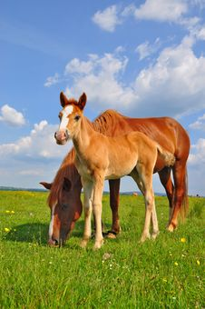 Free Foal With A Mare On A Summer Pasture. Royalty Free Stock Photos - 20050788