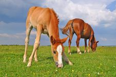 Free Foal With A Mare On A Summer Pasture. Royalty Free Stock Photo - 20050805