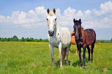 Free Horses On A Summer Pasture Royalty Free Stock Photo - 20050845