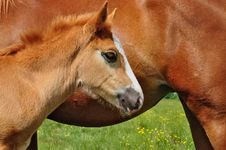 Free Foal With A Mare On A Summer Pasture. Royalty Free Stock Image - 20050866