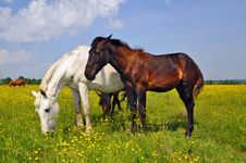 Free Horses On A Summer Pasture Royalty Free Stock Photo - 20050875