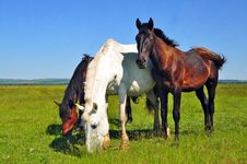Free Horses On A Summer Pasture Stock Photography - 20050912