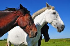 Free Horses On A Summer Pasture Royalty Free Stock Images - 20050919