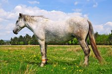 Free Horse On A Summer Pasture. Royalty Free Stock Images - 20051069