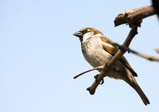 Free Small Sparrow Stock Image - 20052031