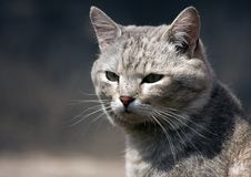 Free A Wild Cat Stock Images - 20052064