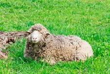 Free Ram Grazing At Green Rural Pasture Stock Image - 20053011