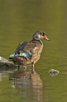 Free Woodduck Drake In Eclipse Plumage Royalty Free Stock Photo - 20053665