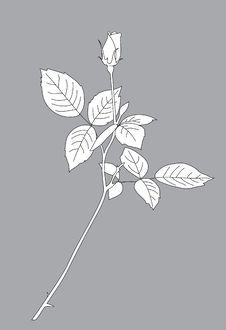 Free Rose On Grey Background Royalty Free Stock Photo - 20054065