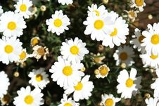 Free Daisies Stock Image - 20054341