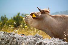 Free White Cow Royalty Free Stock Photo - 20054375