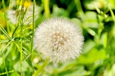 Free White Dandelion Royalty Free Stock Photography - 20054437