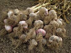 Free Garlic Harvest Royalty Free Stock Images - 20054829