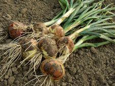 Free Onions Royalty Free Stock Photos - 20054898