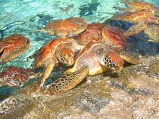 Free Turtles Climbing Out Of Turquoise Water Onto Roc Stock Images - 20054914