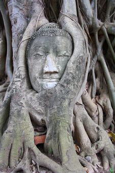 Free Buddha Head In Tree Royalty Free Stock Photo - 20054995