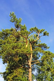 Free Top Of Old Pine Tree Royalty Free Stock Images - 20055719