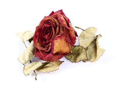 Dry Rose Royalty Free Stock Image