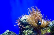 Free Clown Fishes And Sea Anemone Royalty Free Stock Image - 20055946