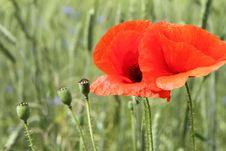 Free Poppy Flowers Stock Photo - 20056730