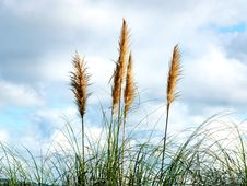 Free High Reed Against Cloudy Sky Royalty Free Stock Photography - 20058717