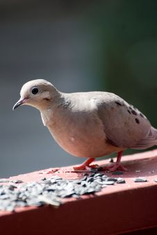 Free Mourning Dove Stock Image - 20058871