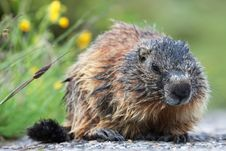 Free Marmot Stock Photography - 20058992
